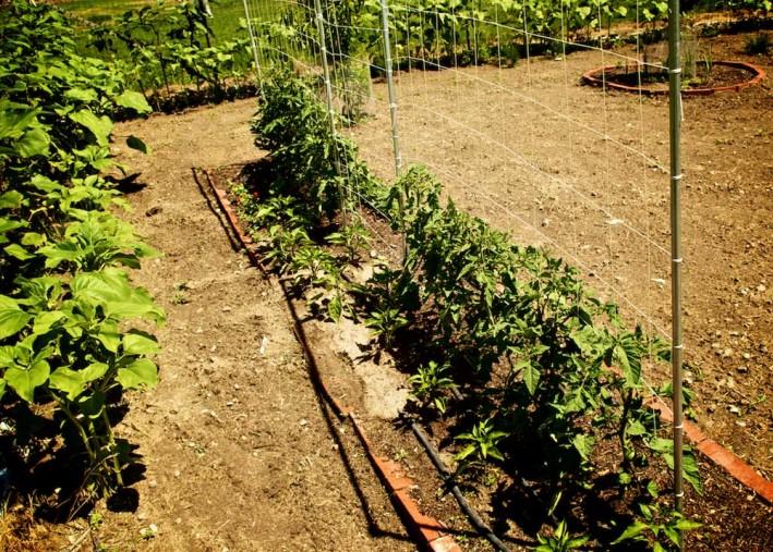 Tomato Trellis Ideas Part - 33: The Indestructible DIY Tomato Trellis