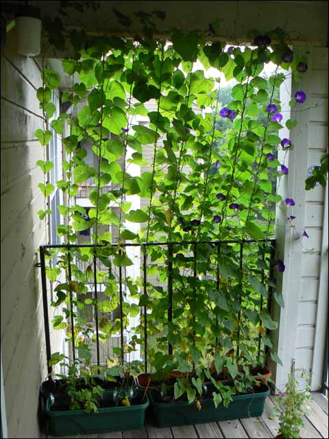 Add privacy and shade to your balcony by plant fast growing vines in pots